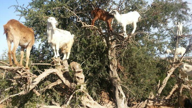 Goat on an argane tree