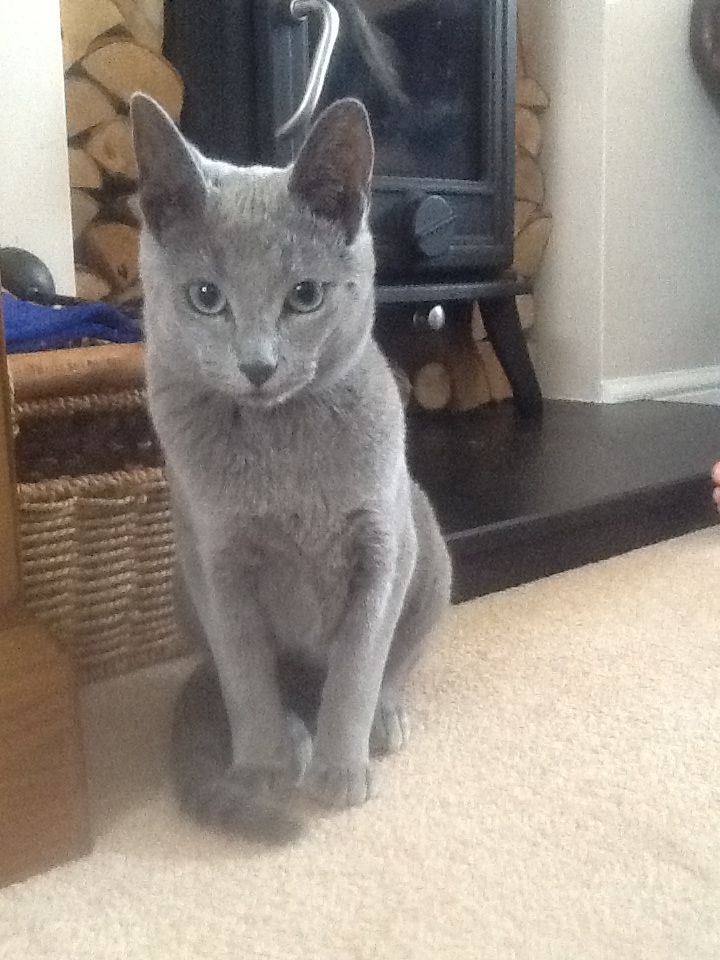 Russian Blue kitten, Betty, aged five months. So cute.