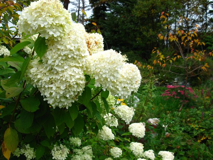 Hydrangea paniculata 'Limelight' in late fall