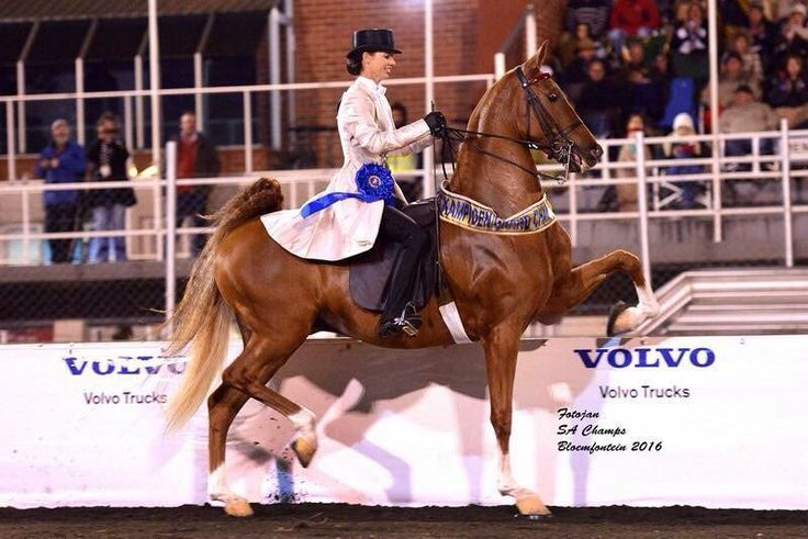"Saddle Horses SA on Twitter: ""2016 SA Grand Champion Three Gaited – ""Makietie Viva Tonite""– shown by Chantell Bosman. (Photo Fotojan Photography). https://t.co/QwPhAKAM8A"""
