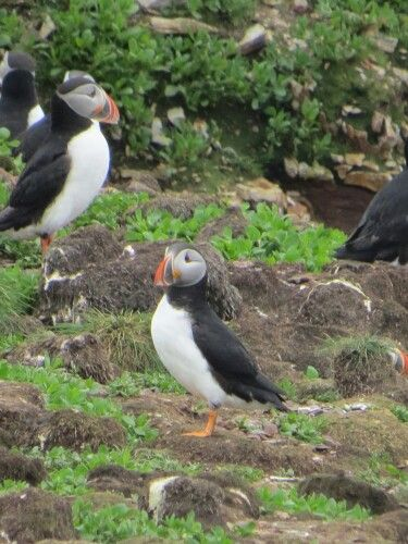 Puffins at Elliston...a must see