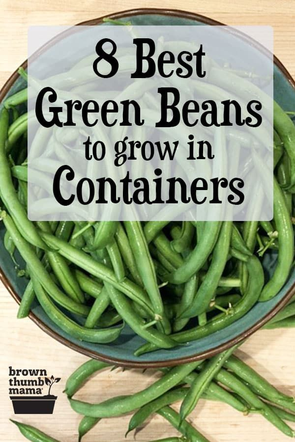 Best Green Beans To Grow In Containers Green Beans Garden Green Beans Growing Green Beans