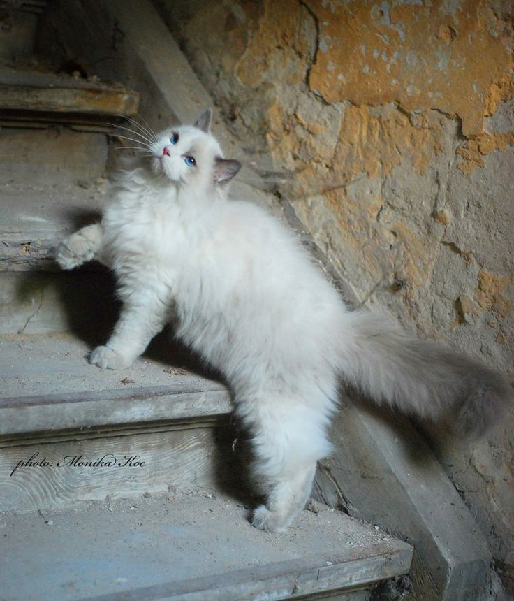 ragdoll cat   I would LOVE one of these cats!!!