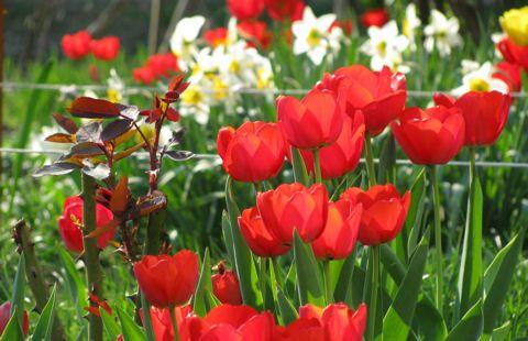 Nyílás után: mi legyen a tulipán hagymáival?