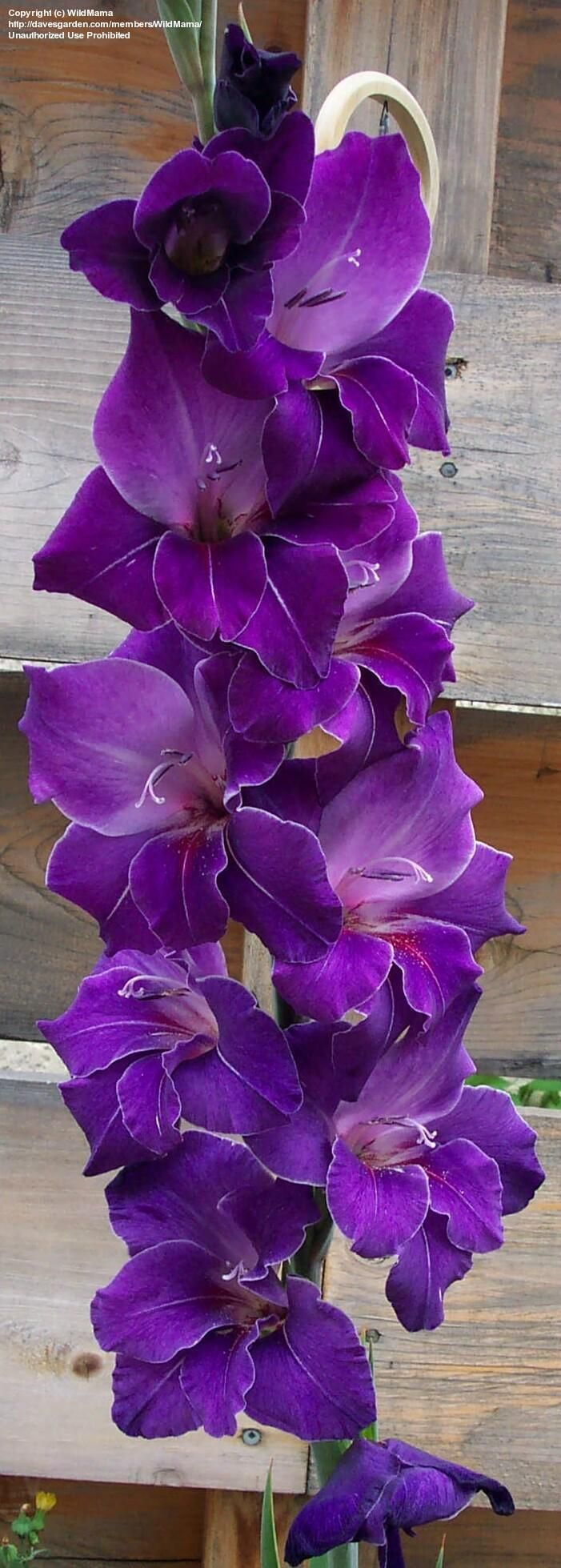 Gladiolus 'Violetta' (Gladiolus x hortulanus) the bloom gets about 3' tall-they are a perennial and only bloom about 3 weeks