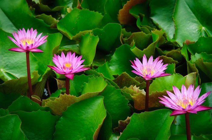 Gambar Logo Bunga Terate Inilah Perbedaan Teratai Dan Lotus Semua Halaman Bobo Grid Id Download Deskripsi Bunga Ter Bunga Teratai Gambar Bunga Bunga Liar