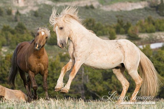 Cloud Leaps in the air as his son Bolder shakes his head in the Pryor Mountains of Montana  www.LivingImagesCJW.com