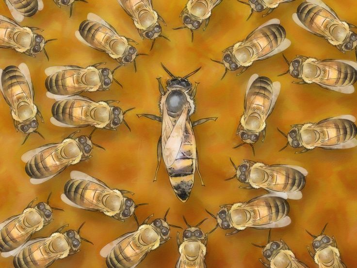 very informative video and identification of the queen. A queen bee is the leader of a bee colony and the mother of most--if not all--of its worker and drone bees. A queen honeybee lives from 3 to 5 years and, in her prime, can lay up to 2,000 eggs in a day. A healthy queen is necessary to the...