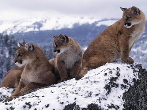 Mountain animals pictures - photo#16