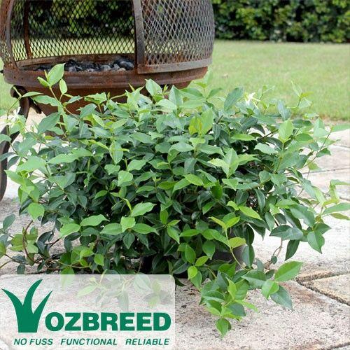 Trachelospermum asiaticum FLAT MAT™ http://www.australianplantsonline.com.au/trachelospermum-asiaticum-flat-mat.html