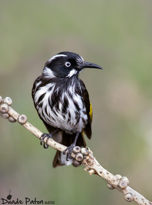 The New Holland Honeyeater (Phylidonyris novaehollandiae) is a honeyeater species found throughout southern Australia.