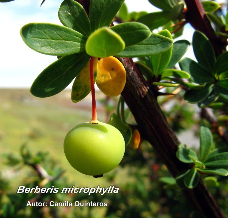 Calafate (Berberis buxifolia)... en Magallanes