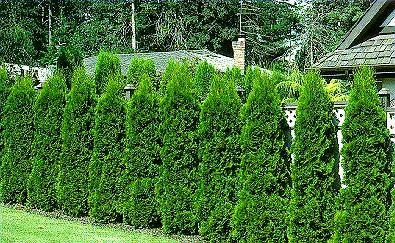 fenceEvergreen Hedges, Emerald Green, Emeralds Green, Arborvitae Evergreen, Privacy Fences, Green Arborvitae, Arborvitae Privacy, Evergreen Trees, Backyards
