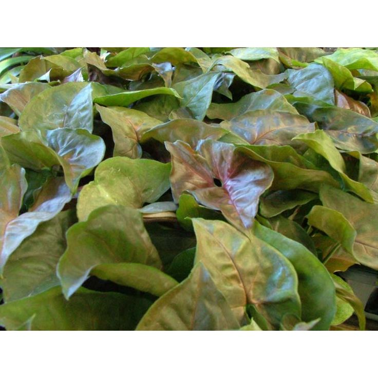 Find 130mm Syngonium Bronze or Arrowhead Vine at Bunnings Warehouse. Visit your local store for the widest range of garden products.