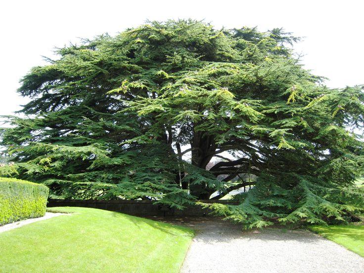 Lebanese Cedar Tree Pictures Khayrallah Program For