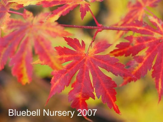Acer pseudosieboldianum  (Korean Maple) - Ideal for people that would love the autumn colour of a Japanese Maple in their garden, but live in an area that is too cold to grow them successfully. A rare and very hardy small tree with brilliant yellow, red and orange autumn colours.