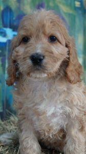 Spoodle Puppies for Sale - Pines Pets