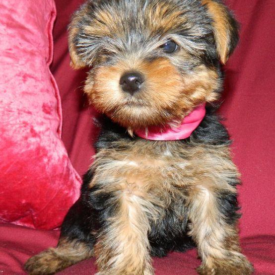 Missy - Yorkshire Terrier (1)