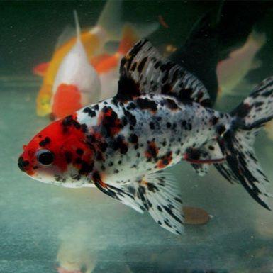Goldfish - Vibrant Shubunkin