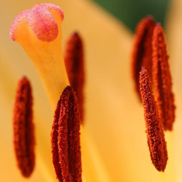 #lily #lilium #anther #stigma #macro #macrophotography #canon #canonphotography #nature #flower #closeup