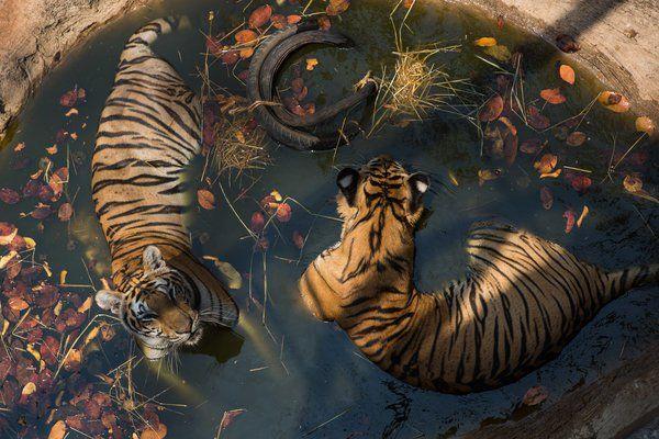 Thai Officials Battle Buddhist Monks Over Tigers…