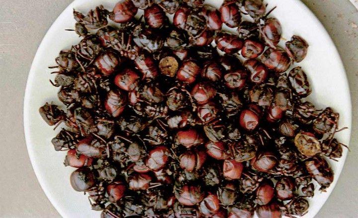 5. Hormiga Culona. El más curioso y excénrico plato santandereano. Son hormigas del género Atta, sólo son comestibles las hormigas reinas y se capturan durante nueve semanas del año en la temporada de lluvias.