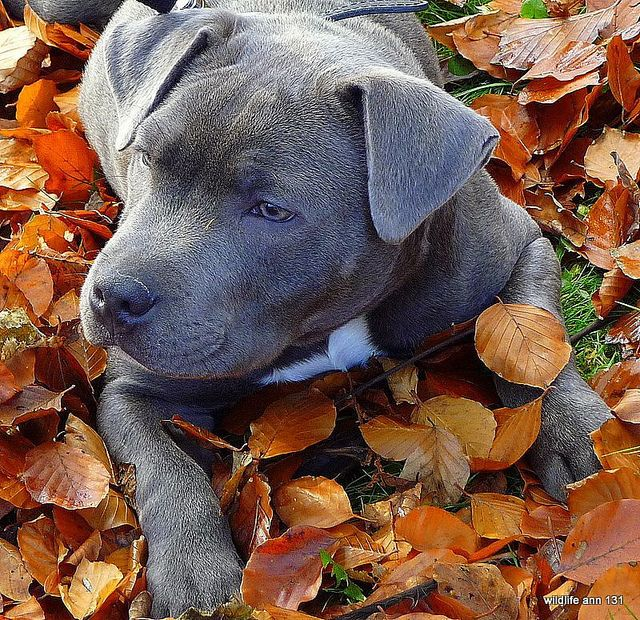 Blue staffy pup