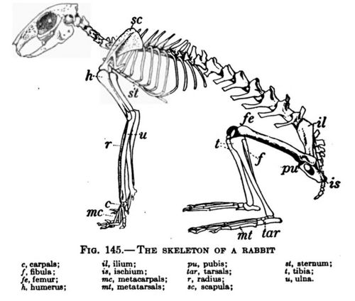 Image: A rabbit skeleton that has various bones labelled ...