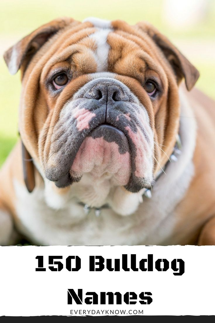 150 Bulldog Names Cute Names For Dogs French Bulldog Names