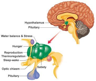 Excellent article explaining pituitary/hypothalamus/thyroid connection