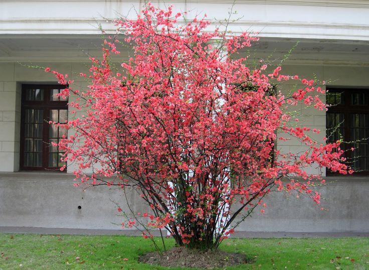 Flowering Quince shrub: Chaenomeles sp./Flowering Quince blossoms:  jaxstumpes.blogspot.com