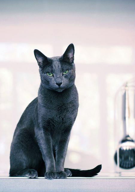 Russian Blue.  My baby Fila is half Russian Blue half Siamese. Gorgeous Kittie !
