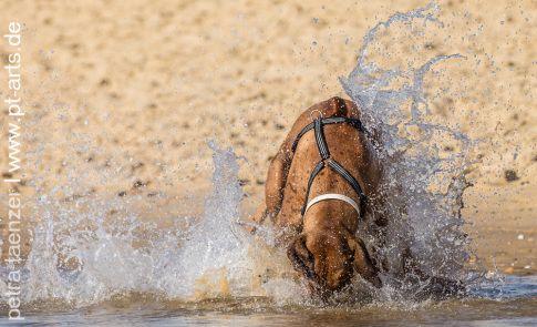 Hundefotografie Petra Tänzer von Rhodesian Ridgeback in Frankreich am Atlantik