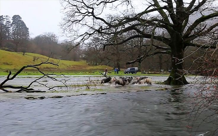 Watch the moment a sheepdog in Ambleside, Cumbria saves a flock of sheep   trapped on an island created by floodwaters