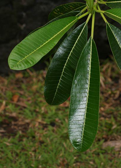 Plumeria obtusa - Singapore Plumeria, Singapore Graveyard ...