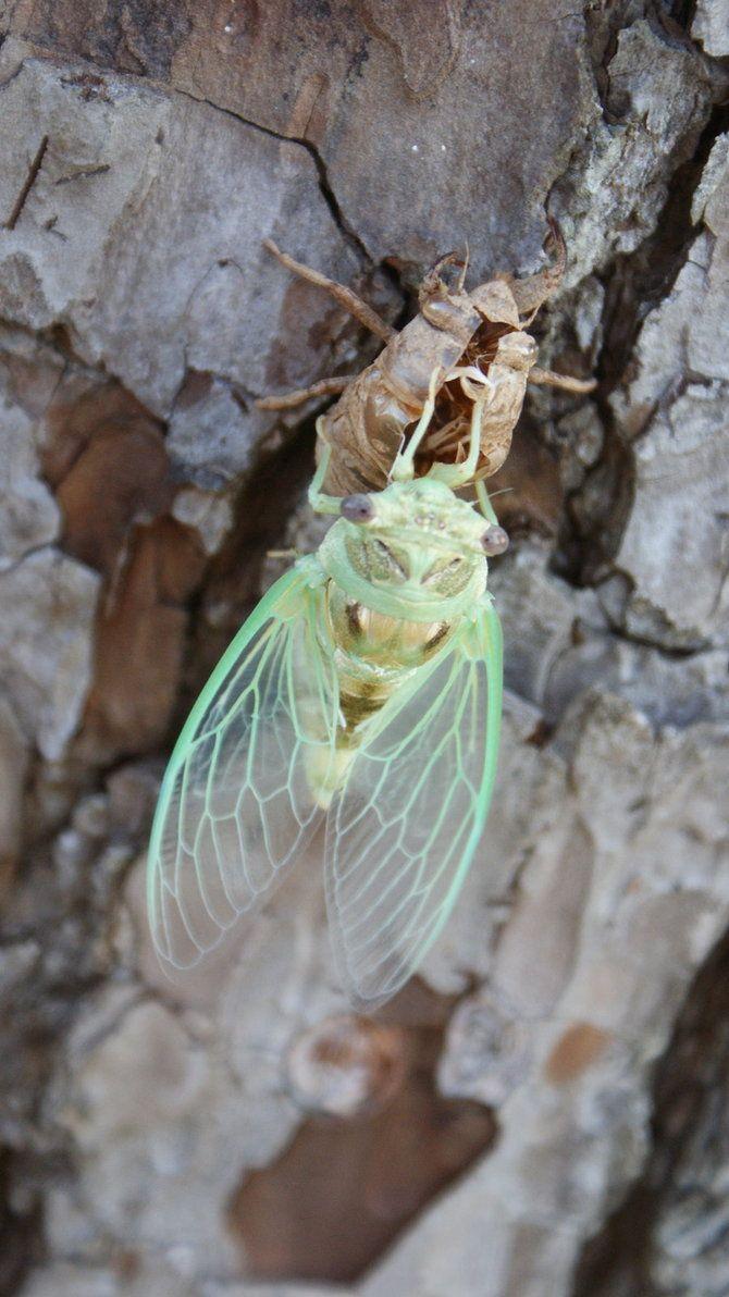 Cicada.. by fragilereality