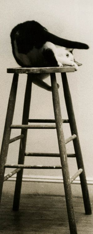 Alfred Statler ::A playful white and black cat atop a stool captured by either Betty Statler or her husband Alfred, NYC, ca. 1960′s /