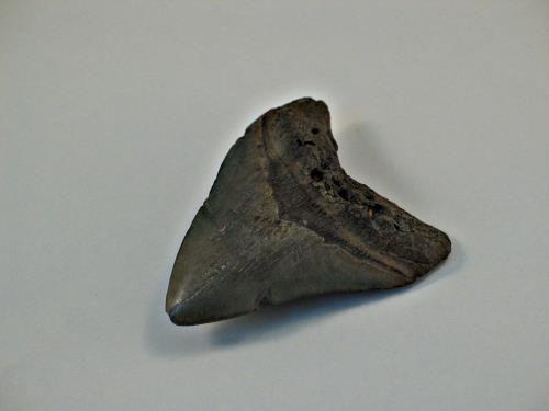 Fossiele haaientand | Collectie Gelderland