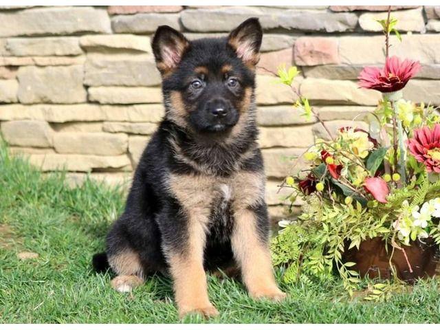 Ckc German Shepherd Pups German Shepherd Puppies German Sheperd Dogs Puppies