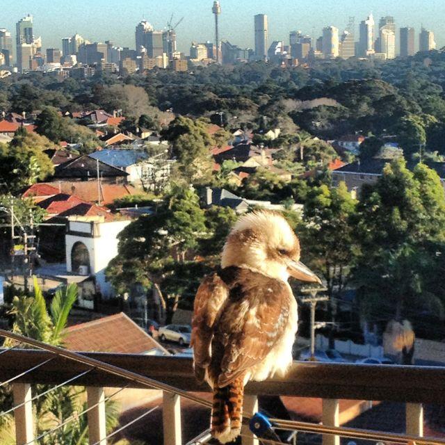 Kookaburra enjoying the Sydney skyline on a sunny morning.