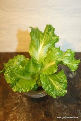 Growing romaine from romaine - too cool, I'm going to try this! http://www.gettystewart.com/how-to-regrow-romaine-lettuce-from-the-stem/