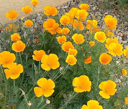 California poppies love the bright big yellow flowers - Yellow poppy flower meaning ...