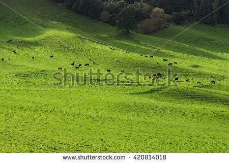 Green pasture herd of cows