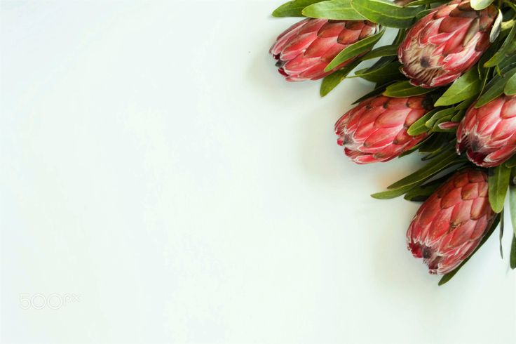 proteaflowers - Five beautiful protea flowers. National flower of South-Africa.