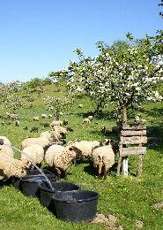 Schafe Streuobstwiese