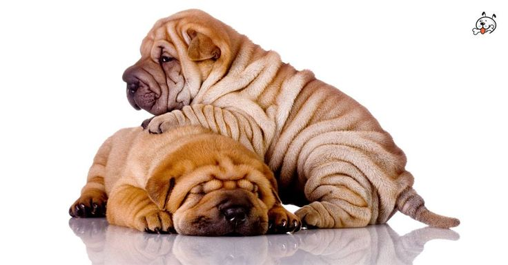 Did you know theese details about our  #Shar_Pei puppies? Click the Link or the image now and learn everything about them ;) http://puppies4all.com/shar-pei-puppies-for-sale/ #dog #doglover #puppy #p4a#puppies #dogs #adorable #lovely #funny #loyal #breeds;