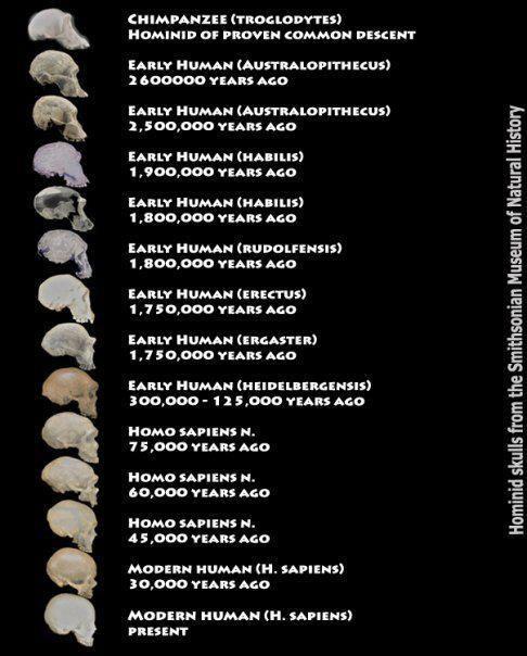 gráfico de línea de tiempo | Los homínidos de los cráneos del Museo Smithsonian de Historia Natural