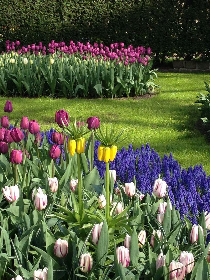 Tulpen en blauwe druifjes onderbroken door keizerskronen. Mooie variatie in kleur en hoogte.