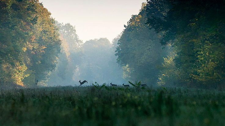 Early Morning - Snagov Forest, Romania. The deer is coming at your window to have the morning coffee. Romania Is Nature!  Photo: Sorin Onisor #morning, #nature, #Romania, #window, #coffee, #photography
