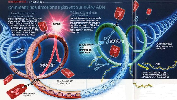 Si l'on sait que le stress influe sur les comportements et sur la santé, les récents travaux montrent qu'ils attaquent directement notre ADN